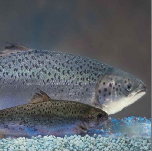 Transgenic Salmon Detection Kit