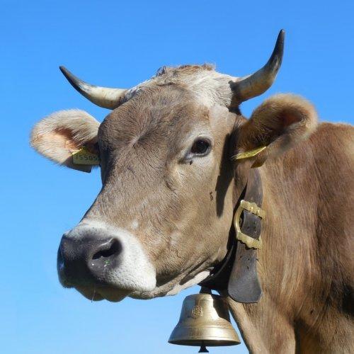 Bovine individual identification